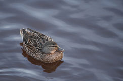 Swimming young duck in winter Royalty Free Stock Photo