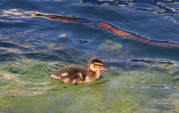 Swimming young duckling in the water.  Stock Image