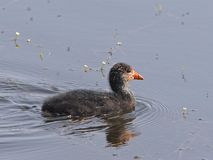 Swimming young eurasian coot Royalty Free Stock Image