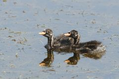Swimming young little grebe