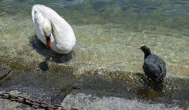 Swimmings do galeirão branco da cisne e do eurasian no lago lucerne Foto de Stock Royalty Free