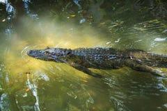 Swimminh del cocodrilo cerca Imágenes de archivo libres de regalías