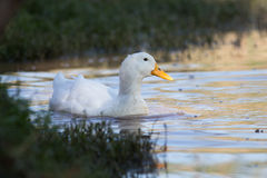Swimmming white domesticated duck in nature. Royalty Free Stock Images
