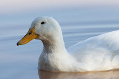 Swimmming white domesticated duck in nature. Stock Photography