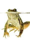 Swimmnig зеленой лягушки в воде на белизне Стоковое Фото