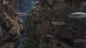 Swimng de muchos pescados almacen de metraje de vídeo