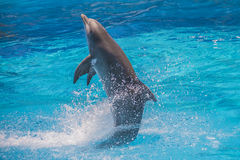 Swims upright, dolphin show Stock Photos