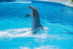Swims upright, dolphin show Royalty Free Stock Photography