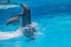 Swims upright, dolphin show Royalty Free Stock Photo