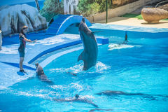 Swims upright, dolphin show Stock Photo
