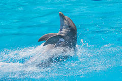 Swims upright, dolphin show Stock Images