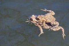 Swin commun de bufo de Bufo de crapaud dans un étang Photo stock