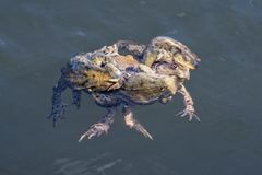 Swin commun de bufo de Bufo de crapaud dans un étang Photo libre de droits