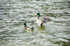 Swin de canard au-dessus de lac Image libre de droits