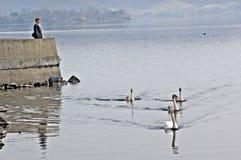 Swin in the lake of Bracciano Trevignano Romano. Bracciano Rome Italy, swans wlak in the lake of bracciano, Lake Bracciano, originally also called Lake Sabatino stock photography