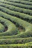 Swindling rows of tea bushes Stock Image