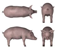 Swine Stock Photos
