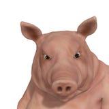 swine Arkivfoto