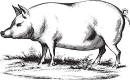 Swine. Ancient vector engraving of a swine isolated on white Stock Photos