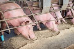 Swine at the farm. Pig industry. Pig farming to meet the growing demand for meat in thailand and international. Swine at the farm. Pig industry. Pig farming to stock photo