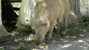 Swine looking for food on the road, Georia.  stock video