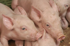 Swine Pictures Royalty Free Stock Photo