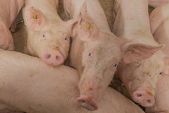 Swine Pictures Stock Images