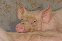 Swine Pictures Royalty Free Stock Photography