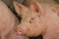Swine Pictures Stock Photo