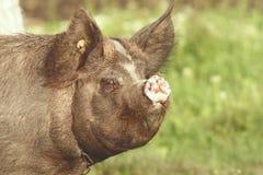 Swine portrait Royalty Free Stock Photography
