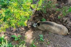 Swine Royalty Free Stock Image