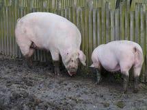 2 swines Стоковая Фотография RF