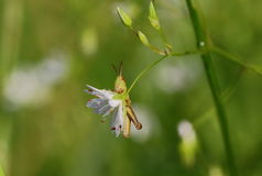 On the swing. Early morning. Everything around in the night dew drops. Little grasshopper just woke up and sits on a Chickweed. Flower swings morning wind and Stock Images