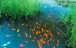 Swing fish Royalty Free Stock Image