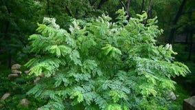 Swing tree & green leaves,tree crown. Gh2_06510 stock video footage