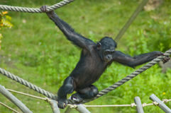 Swinging ape. Ape playing and swinging between ropes in a zoo stock image