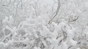 Swinging branches of a bush. The branches are covered with a thick layer of frost stock video