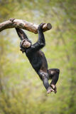 Swinging Chimp II. Young Chimpanzee Swinging from a Tree Branch stock photos