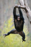 Swinging Chimp II. Young Chimpanzee Swinging from a Tree Branch Royalty Free Stock Photography