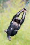 Swinging Chimp III Royalty Free Stock Images