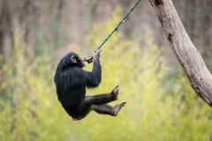 Swinging Chimp V. Young Chimpanzee Swinging in Tree stock photography