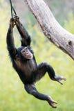 Swinging Chimp VI. Young Chimpanzee Swinging in Tree stock image