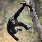 Swinging Chimp VIII. Young Chimpanzee Swinging on a Tree Branch royalty free stock images