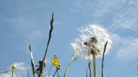 Swinging dandelion on a background of  blue sky. Close up. Swinging dandelion on a background of blue sky. Close up stock footage