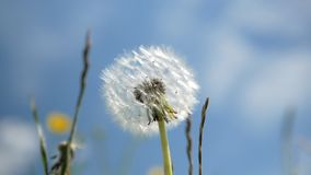 Swinging dandelion on a background of blurred blue sky. Close up.  stock footage