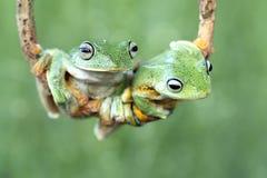 Swinging frog. Swinging Javan gliding tree frog Royalty Free Stock Image