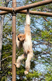 Swinging Gibbon Royalty Free Stock Photography