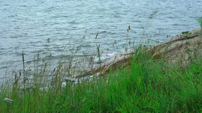 Swinging grass by the lake stock footage
