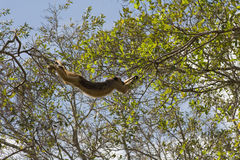 Swinging Howler monkey in pantanal, Brazil stock photography