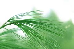 Swinging pine needles Stock Photos